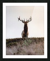 Tule Elk On Top Of A Hill Picture Frame print