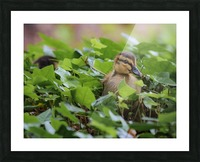 Duck In Plants Picture Frame print