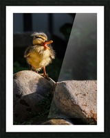 Quacking Duckling Picture Frame print