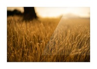 Golden Hour Field Picture Frame print