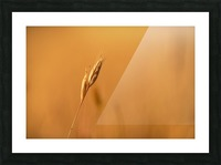 Golden Hour Grass Picture Frame print
