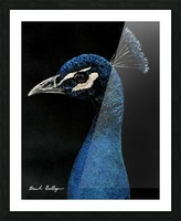 Peacock Portrait Picture Frame print