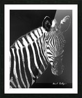 Zebra Portrait Picture Frame print