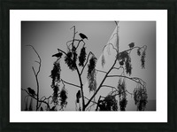 Crows 2016   1 Picture Frame print