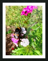 Bumblebee  Picture Frame print