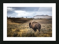 Stormy Bison Picture Frame print