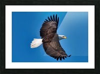 American Bald Eagle Picture Frame print