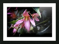 Begonia  Picture Frame print