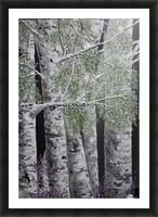 Snowdust in Spring Picture Frame print