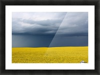Summer Canola Picture Frame print