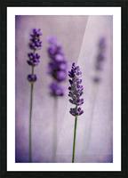 Lavender Picture Frame print