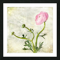 Pink buttercup Picture Frame print