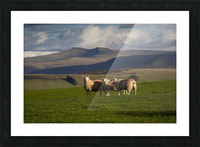 Sheep on the Brecon Beacons Picture Frame print