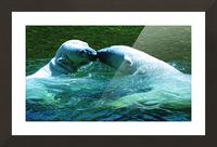 Kiss Me Polar Bears Picture Frame print