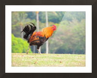 Red Rooster Picture Frame print