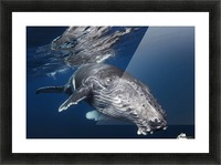 Humpback Whale Picture Frame print