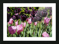 Spring Blooms of Holland 5 of 8 Picture Frame print
