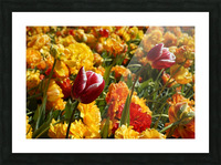 Spring Blooms of Holland 7 of 8 Picture Frame print
