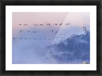 Snow Geese Picture Frame print