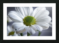 White Daisy Picture Frame print
