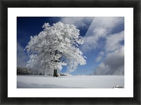 White Windbuche in Black Forest Picture Frame print