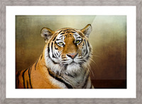 Bengal Tiger Picture Frame print