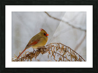 Cardinal ap 1726 Picture Frame print