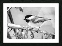 Blacked Capped Chickadee ap 1813 B&W Picture Frame print