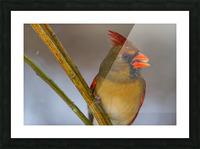 Cardinal ap 1822 Picture Frame print