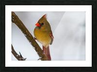 Cardinal ap 1729 Picture Frame print