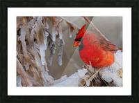 Cardinal ap 1869 Picture Frame print