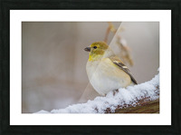Goldfinch ap 1814 Picture Frame print