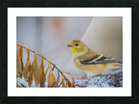 Goldfinch ap 1816 Picture Frame print