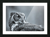 Great Horned Owl ap 2861 B&W Picture Frame print