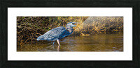Great Blue Heron ap 2133 Picture Frame print