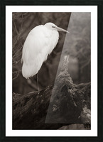 Great White Egret ap 1848 B&W Impression et Cadre photo