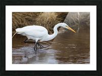 Great White Egret ap 2802 Impression et Cadre photo