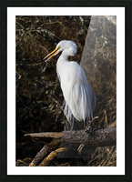 Great White Egret ap 2765 Picture Frame print