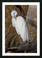 Great White Egret ap 2767 Picture Frame print