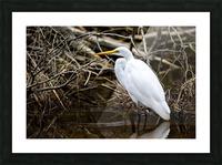Great White Egret ap 2807 Impression et Cadre photo
