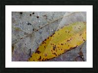Choke Cherry Leaf ap 1952 Picture Frame print