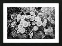 Flowers ap 2222 B&W Picture Frame print