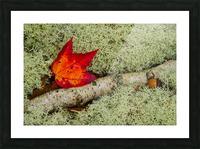 Maple Leaf ap 1555 Picture Frame print