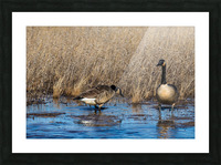 Canada Geese ap 2779 Picture Frame print