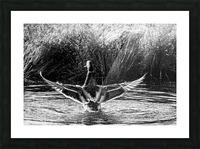 Mallard ap 1826 B&W Picture Frame print