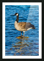 Canada Goose ap 1596 Picture Frame print