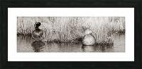 Mallard Pair ap 1775 B&W Picture Frame print