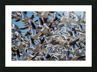 Snow Geese ap 1855 Picture Frame print