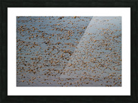 Snow Geese ap 1863 Picture Frame print