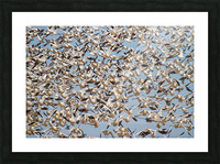 Snow Geese ap 1859 Picture Frame print